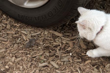 白猫と二十日鼠